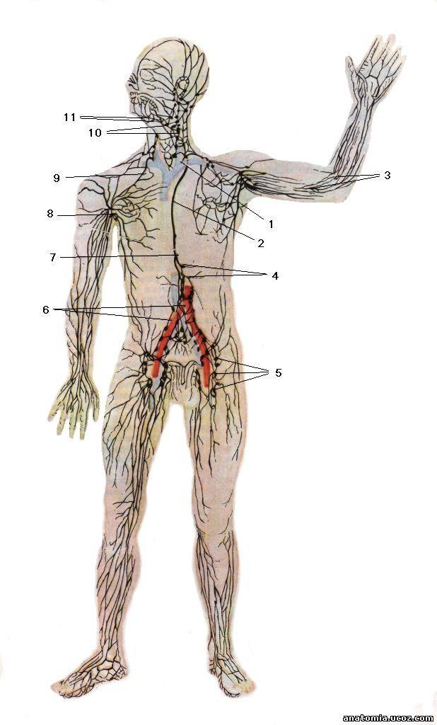 Лимфатическая система SYSTEMA