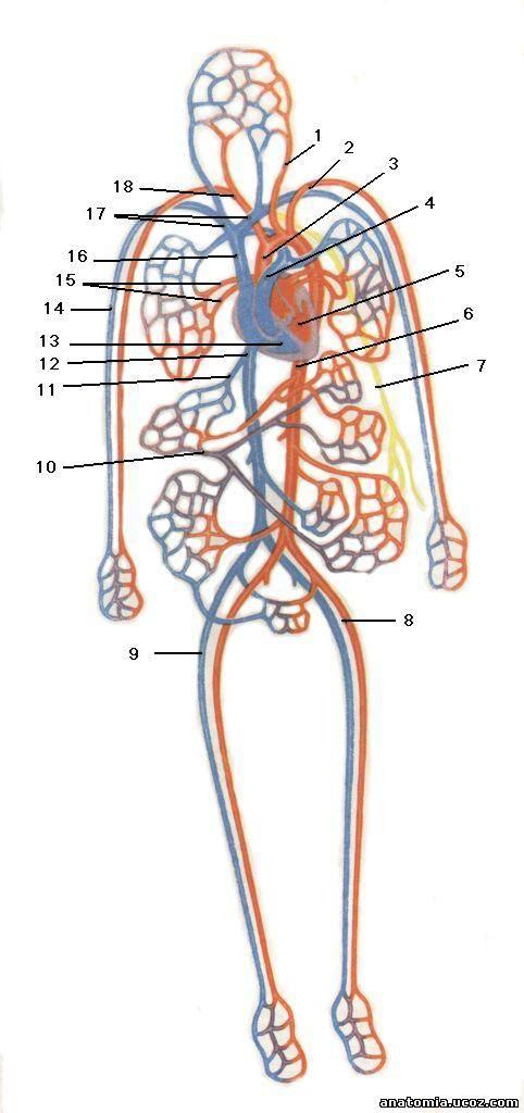 1 — левая общая сонная артерия