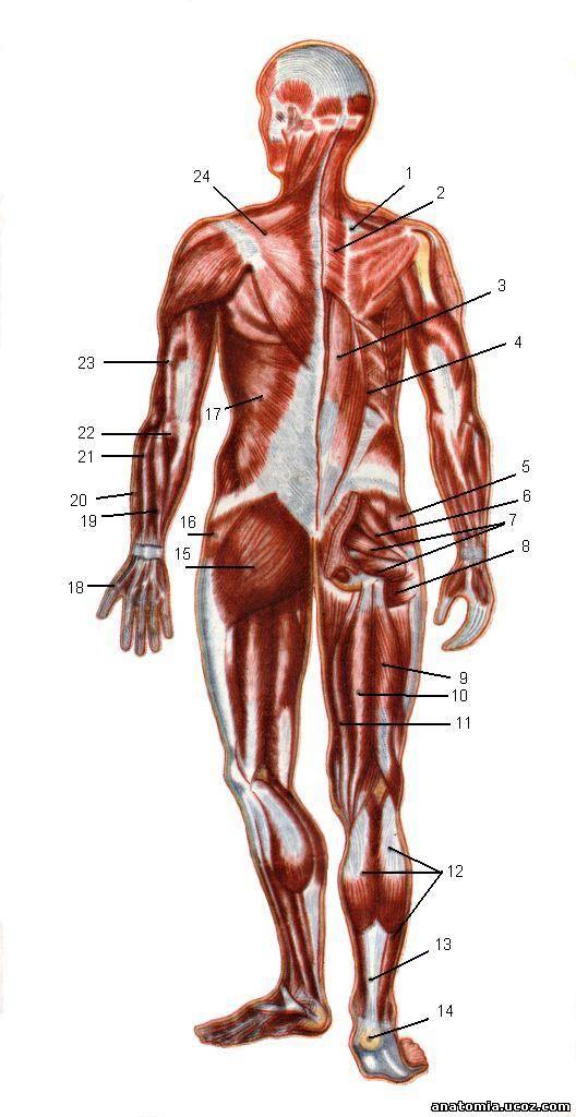 Мышца Трехглавая