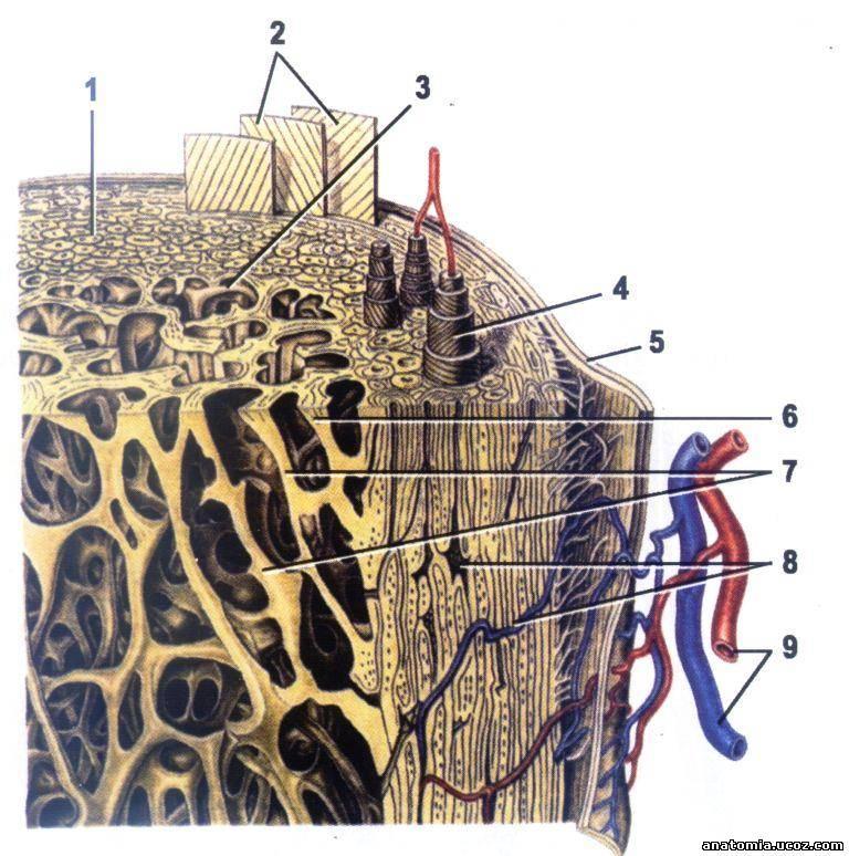 канал остеона