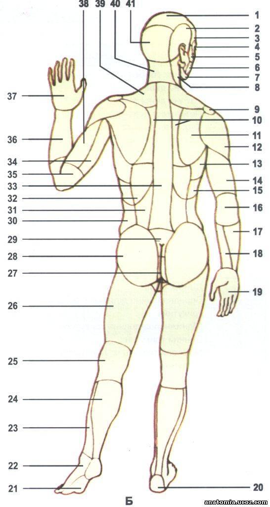 Участки (д) тела человека.