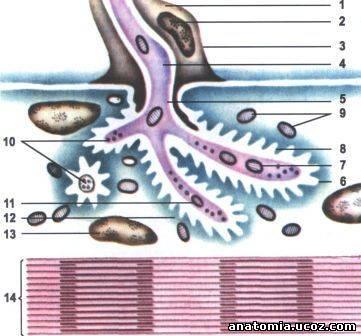 Строение нервно-мышечного